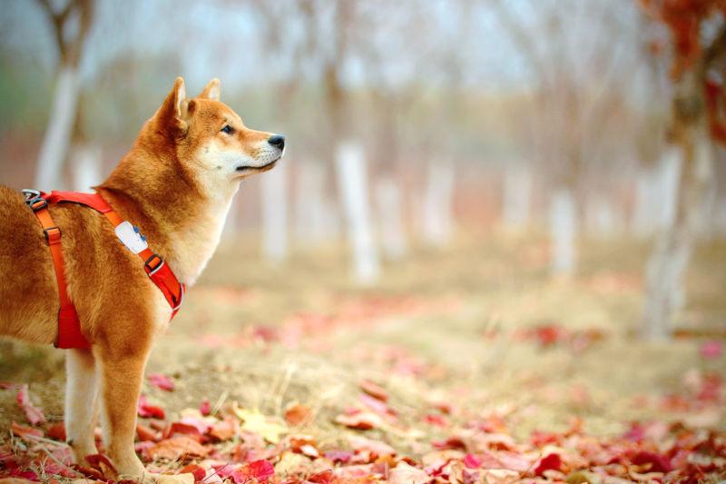 Hund mit GPS tracker in Obstplantage
