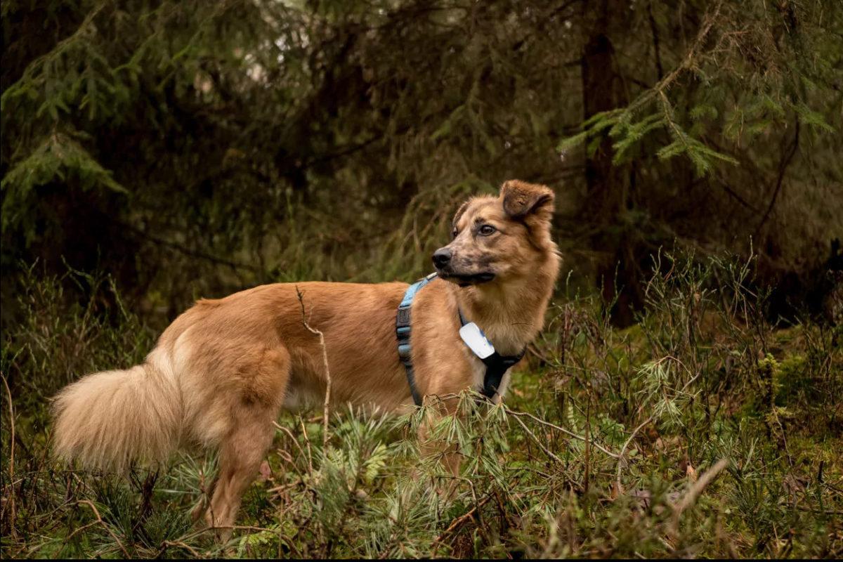 Hund mit GPS-tracker im Wald - postpic