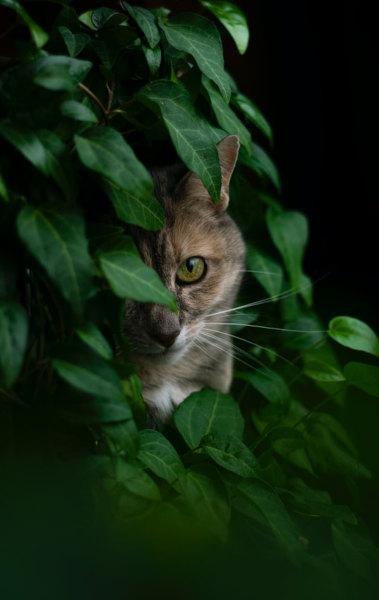 Im Efeu versteckte Katze entlaufen